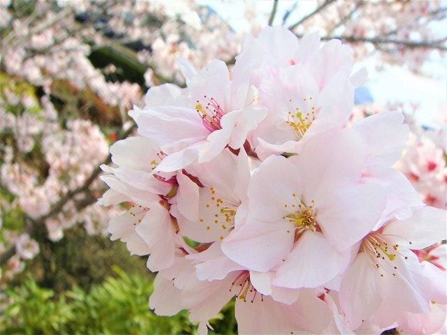 桜の開花情報で耳にする「●分咲き」って何?【連載:アキラの着目】