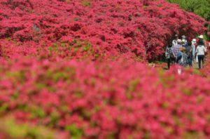 """""""静冈·小室山公园""""斜坡上杜鹃花盛开"""