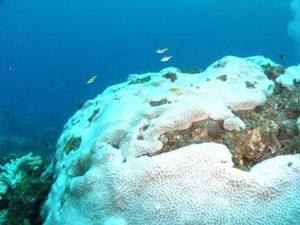 日本发现可预防珊瑚白化物质
