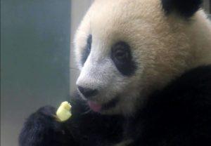 """""""香香""""初长成!东京上野动物园熊猫宝宝已断奶开始吃苹果"""