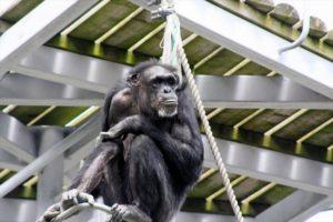 日本札幌圆山动物园两只黑猩猩险些逃出 游客紧急避难
