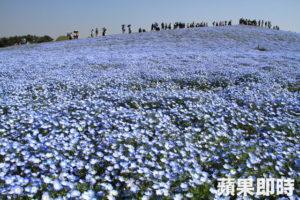 【日本茨城】满山遍野粉蝶花 今生不看必后悔