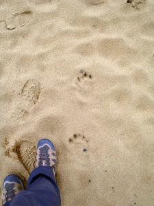 日本鸟取沙丘发现黑熊脚印 呼吁游客注意安全