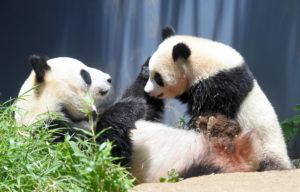 上野动物园熊猫宝宝将满1岁 下月起观看不限次数