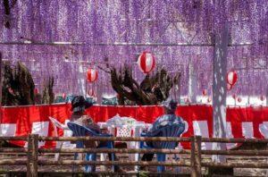 福冈柳川中山大藤祭