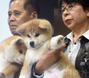 俄花滑选手扎吉托娃将获赠的秋田犬亮相