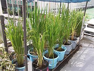幅広い研究テーマを内包し、自宅栽培可能な「バケツ稲」【連載:アキラの着目】