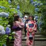 日本明月寺紫阳花盛开 和服美女花间拍照