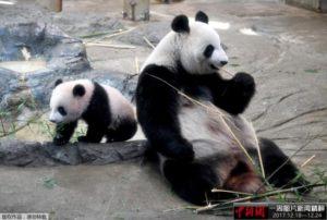 """日本上野动物园熊猫宝宝""""香香""""将迎来一岁生日"""