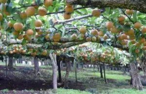 中国肥料企业到访青森县进行农业考察