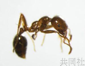 大阪在来自中国的集装箱内发现2000多只红火蚁