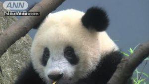 """日本东京上野动物园大熊猫""""香香""""近况:会模仿妈妈啃竹子"""