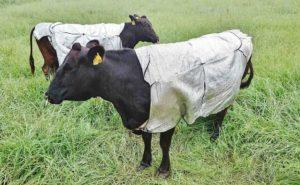 """牛也要防暑 日本山口县牧场牛穿""""防晒衣""""可有效降低体感温度"""