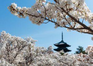 【1晚28万】夜宿京都千年古寺御室樱花海伴眠