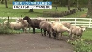 """北海道池田町80头绵羊失踪 """"凶手""""或是棕熊"""