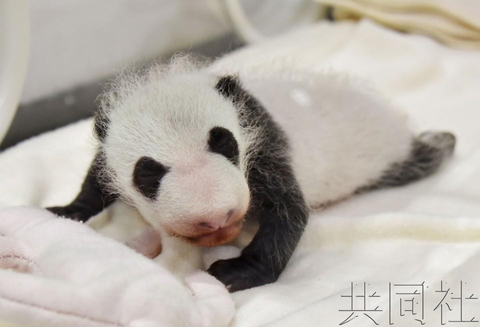 """和歌山""""冒险世界""""新生熊猫宝宝13日起亮相"""