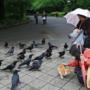 乌鸦叫声不吉利?日本却奉为神灵传源自于中国