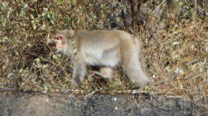日团队称福岛核事故受过度辐射野猴稍显贫血