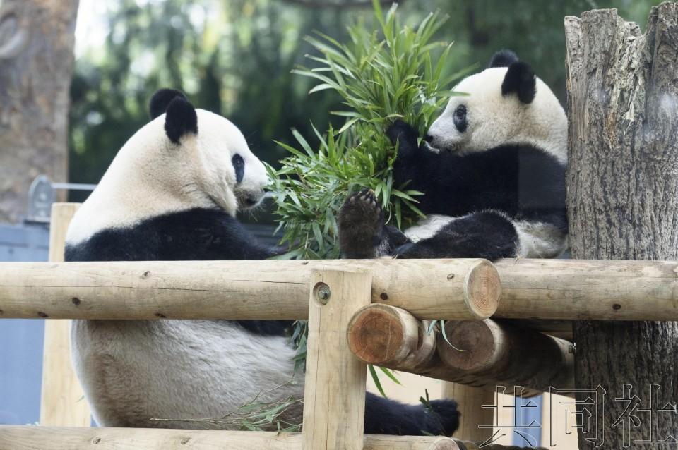 """上野动物园为大熊猫""""香香""""独立生活做准备"""