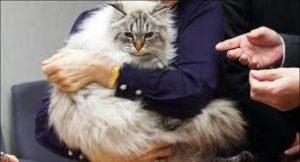 """日本官员介绍""""普京猫""""现状:8公斤重 还懂日语"""