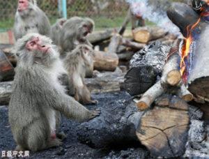 猴子们的冬日享受:围着篝火吃烤红薯