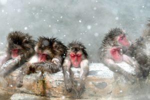 冬季来临 日本北海道猴子为御寒泡温泉