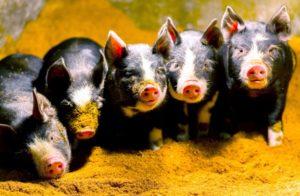 日本一教授拍摄小猪照片 免费供人们制作猪年贺年片使用