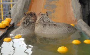 日本香川水豚冬至泡柚子温泉 憨态可掬