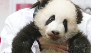 """和歌山""""冒险世界""""熊猫宝宝取名""""彩滨"""""""