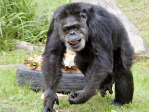 日本最高龄黑猩猩Jonny离世