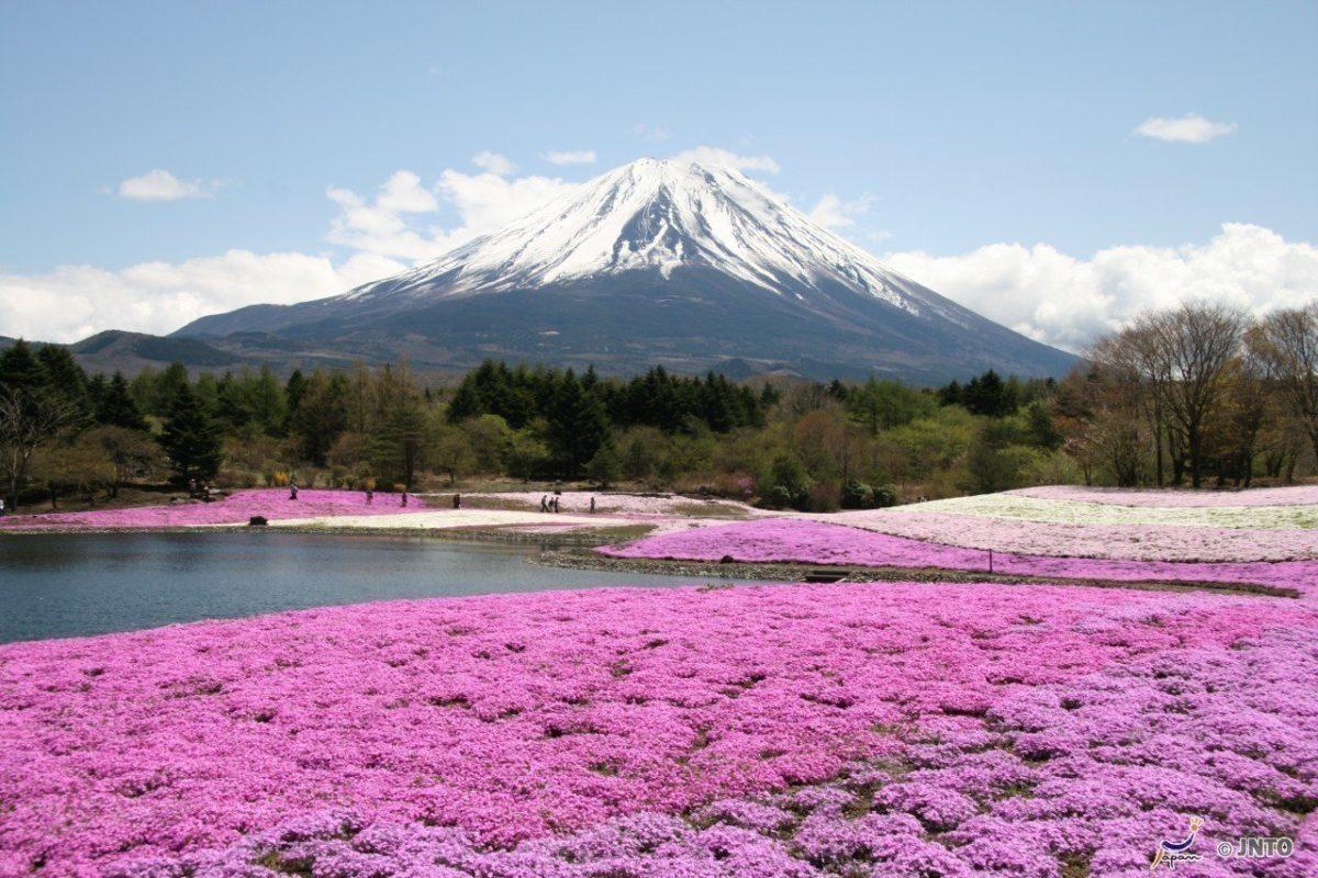 日本富士山芝樱:4月下旬~5月中