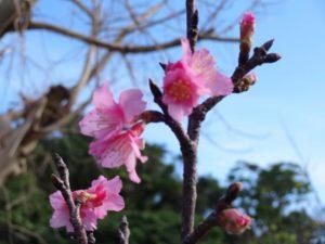 全日本最早!冲绳樱花比去年提早16天开花