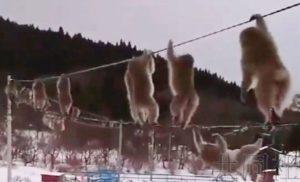 话题:青森县猴群过电线视频引起反响