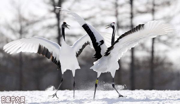 丹顶鹤雪上秀舞姿