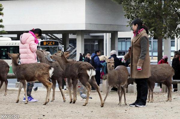 去奈良喂小鹿要小心受伤