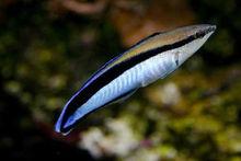 日本和德国一项合作研究发现:鱼也能认出镜子里的自己