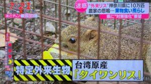 「台湾栗鼠」入侵日本致农损破坏生态