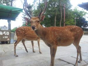 史上最严重!奈良鹿攻击人本年度升至逾200伤多人骨折重伤