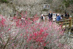 春季来临 日本热海举行梅花节