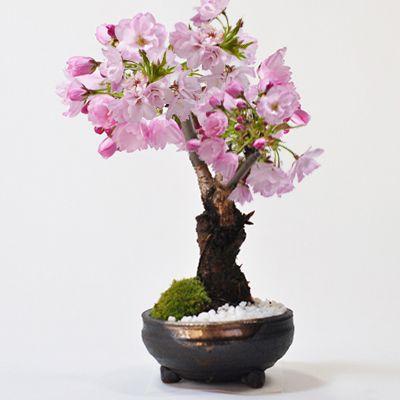 盆栽という小宇宙がさらに小さくなったミニ盆栽【連載:アキラの着目】
