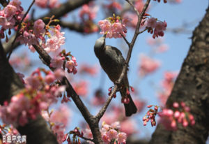 日本国会周边樱花开放