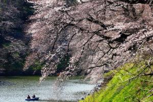 日本各地樱花相继开放 千鸟之渊、大阪城迎来赏樱季节