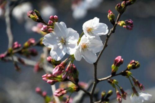 日本熊本的樱花开放 为九州地区最晚