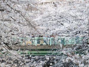 预测日本樱花何时开AI人脑大对决