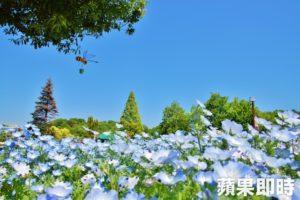 春游日本不只赏樱蓝色粉蝶梦幻花海等着你