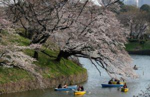 赴日赏樱动作要快东京、京都樱花已盛开
