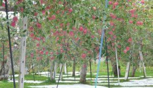 青森观光苹果园