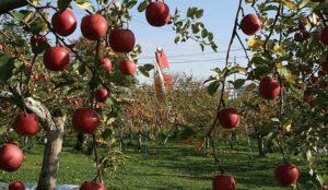 苹果山丘果园