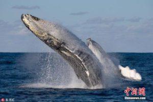 座头鲸亲子首次现身八丈岛海 日专家:重大发现