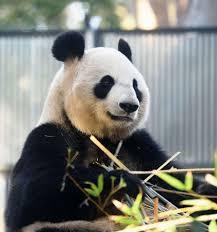 为大熊猫繁殖做准备 日上野动物园调整熊猫展出方针